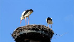 Pair storks on nest, Ciconia ciconia, blue sky, copy space. Storks on nest, background blue sky stock video footage