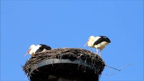 Pair storks on nest, Ciconia ciconia, blue sky, copy space. Storks on nest, background blue sky stock footage