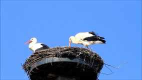 Pair storks on nest, Ciconia ciconia, blue sky, space. Storks on nest in springtime stock video footage