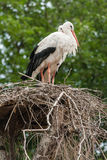 A pair of storks in the nest. Close-up royalty free stock photos