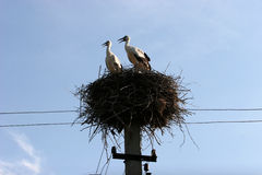 Pair of storks in the nest. 2 stork. Pair of storks in the nest are in the suite in the electric pole Stock Photography