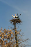 Pair of Storks in the nest Stock Photography