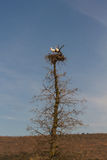 Pair of Storks in the nest Royalty Free Stock Images