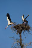 Pair of Storks in the nest Royalty Free Stock Photography