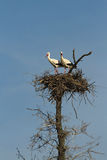 Pair of Storks in the nest Stock Images