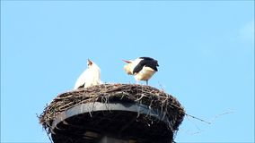 Pair Storks on nesting place against blue sky stock video footage