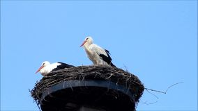 Pair Storks on nesting place against blue sky stock footage