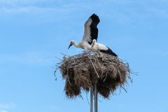 A pair of storks in their nest against blue sky Royalty Free Stock Images