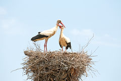 Pair of Storks on their nest Stock Image