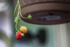 Pair of strawberry`s hang on stem Stock Images