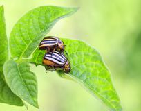 A pair of striped Colorado beetles reproduce on young green shoo. Ts of potatoes Stock Image