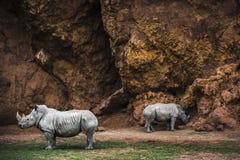 Couple of white rhinos grazing stock image
