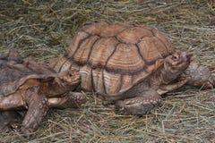 A pair of Sulcata tortoises Stock Photo
