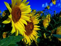 Pair of Sunflowers. Two Sunflowers in a field of them Stock Photography