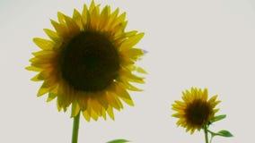 Pair Sunflowers stock video