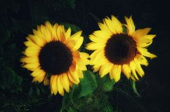 Pair of Sunflowers on dark Background. A pair of Sunflowers on dark and green Background Royalty Free Stock Photography