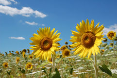Pair of Sunflowers in Field Royalty Free Stock Photo
