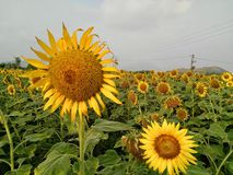 Pair of sunflowers stock photography