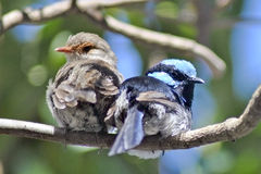 Pair of superb fairy wrens Royalty Free Stock Images