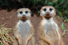 Pair of Suricates. Royalty Free Stock Photography