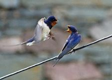 Pair of Swallows Stock Photo