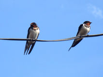 A pair of swallows Royalty Free Stock Image