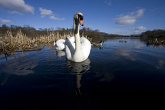 A pair of swan Stock Photography