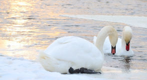 Pair swan. On winter background for desktop Royalty Free Stock Images