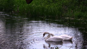 Pair of swan birds looking for food in river water Stock Photo