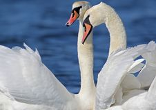 A heads of a pair of swan close up view stock image