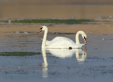 A pair swan floats on the water royalty free stock photo
