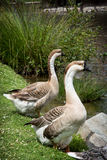 Pair of Swan geese Stock Images