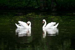 Pair of swan on the lake in forest Royalty Free Stock Photography
