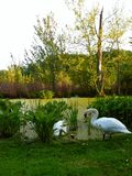 Pair of Swans. This photo was taken at Reeds Lake in Grand Rapids, Michigan stock images