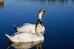 Pair of swans Stock Photos