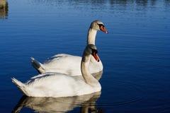 Pair of swans. Pair of swimming mute swans Stock Photos