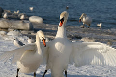 Pair swans Stock Photography