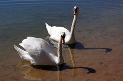 A pair of swans. A pair of swans on the summer sunny lake Stock Image