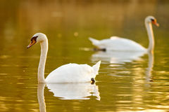 Pair of swans Royalty Free Stock Photography