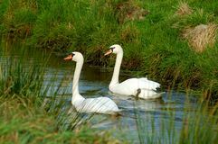 Pair of swans Stock Photo