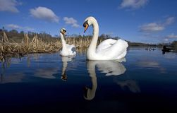 A pair of swans Stock Images