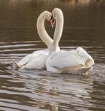 A pair of swans with beaks touching on the Ornamental Pond. A pair of swans close to one another with beaks touching  on the Ornamental Pond, Southampton Common Royalty Free Stock Photography