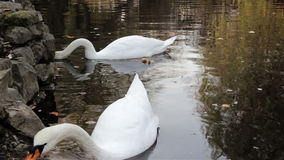 Pair of swans. In a city park a couple swans of floating in a pond stock footage