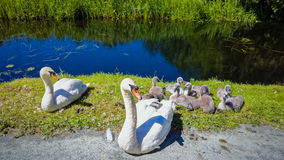 Pair of Swans with Cygnets. A pair of swans with their cygnets sitting on the bank of a canal Royalty Free Stock Image