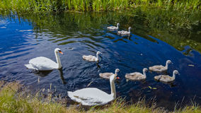 Pair of Swans with Cygnets. A pair of swans with their cygnets swimming in a canal Stock Photos