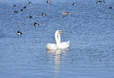 Two Swans Entwined stock images