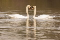 A pair of swans facing one another on the Ornamental Pond royalty free stock photos