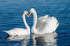 A pair of swans. Fall in love Royalty Free Stock Photography