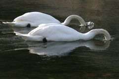A pair of Swans feeding Stock Image