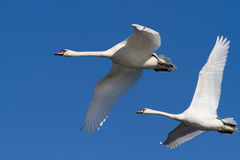 Pair of swans in flight. Against a blue sky Royalty Free Stock Image